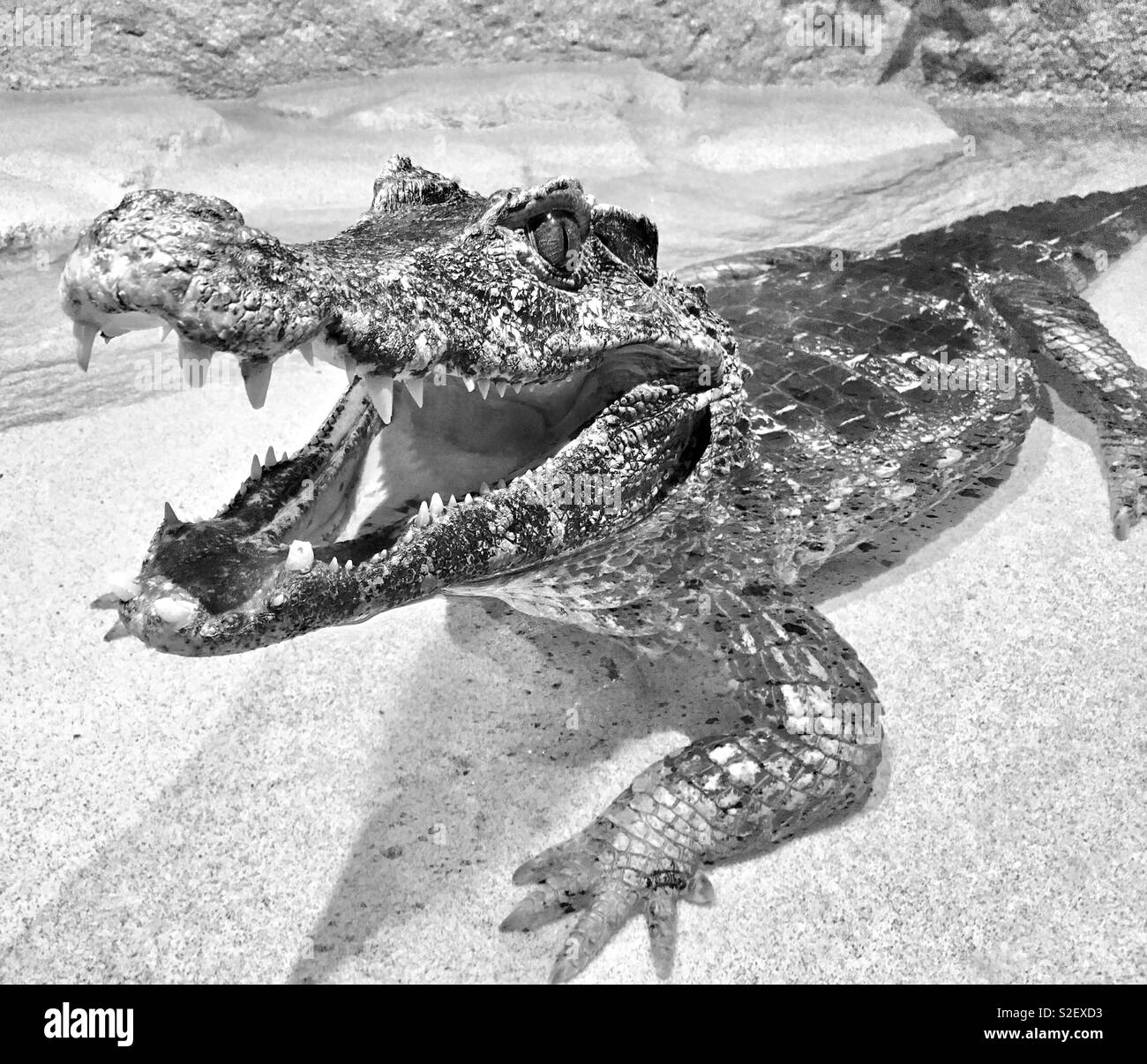 Caiman with open mouth smiling at viewer while lounging in water - Stock Image