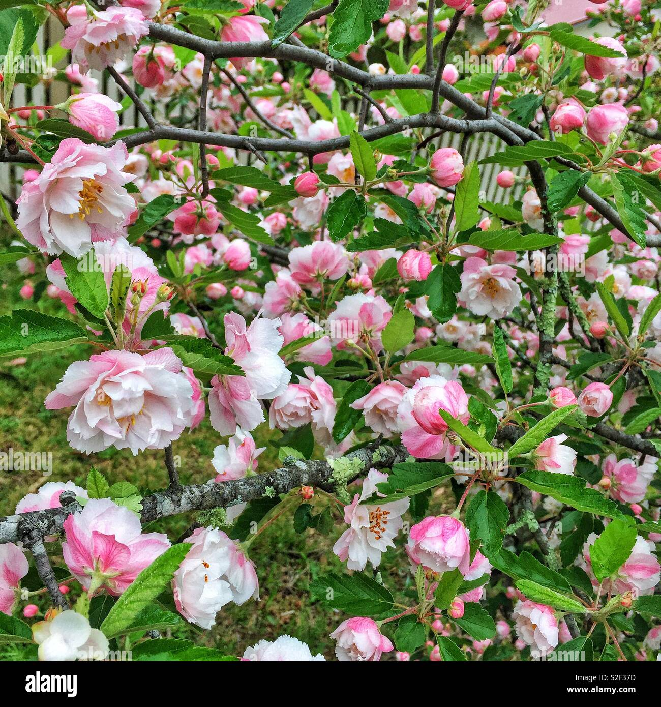 Spring blossom in Leura, Blue Mountains, NSW, Australia - Stock Image