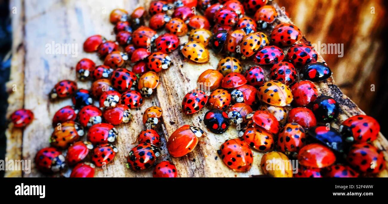 Ladybugs family meeting on a wooden log - Stock Image