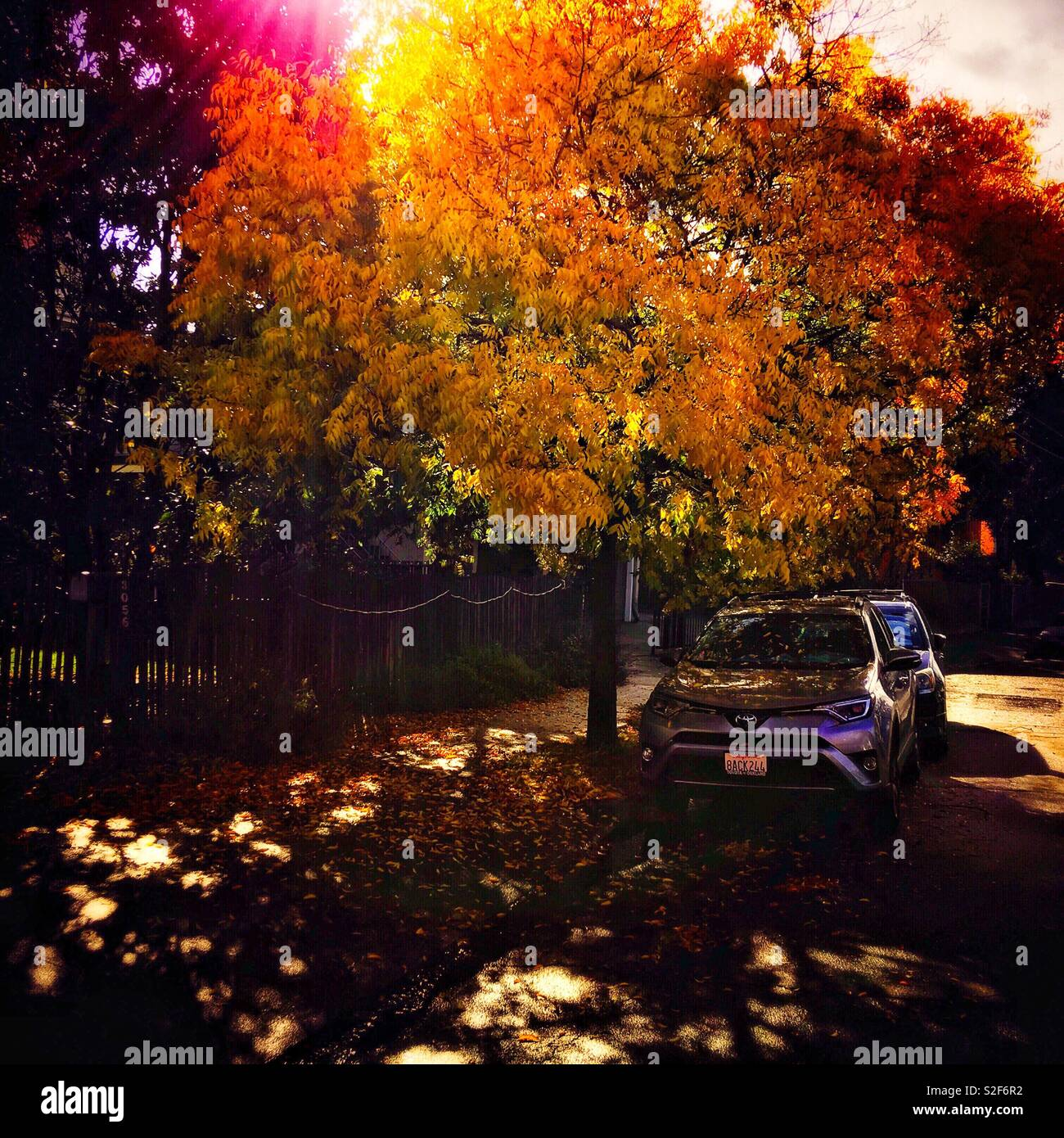 Along the pavement, on its right, cars are parking by the roadside. On its left, a house in shadow of the area. They all bring out the bright and yellowish leaves of the tree in their middle. Stock Photo