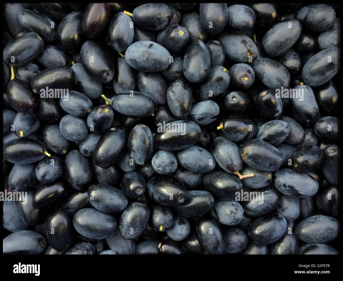 Empeltre olives harvested for extra virgin olive oil, Catalonia, Spain. - Stock Image