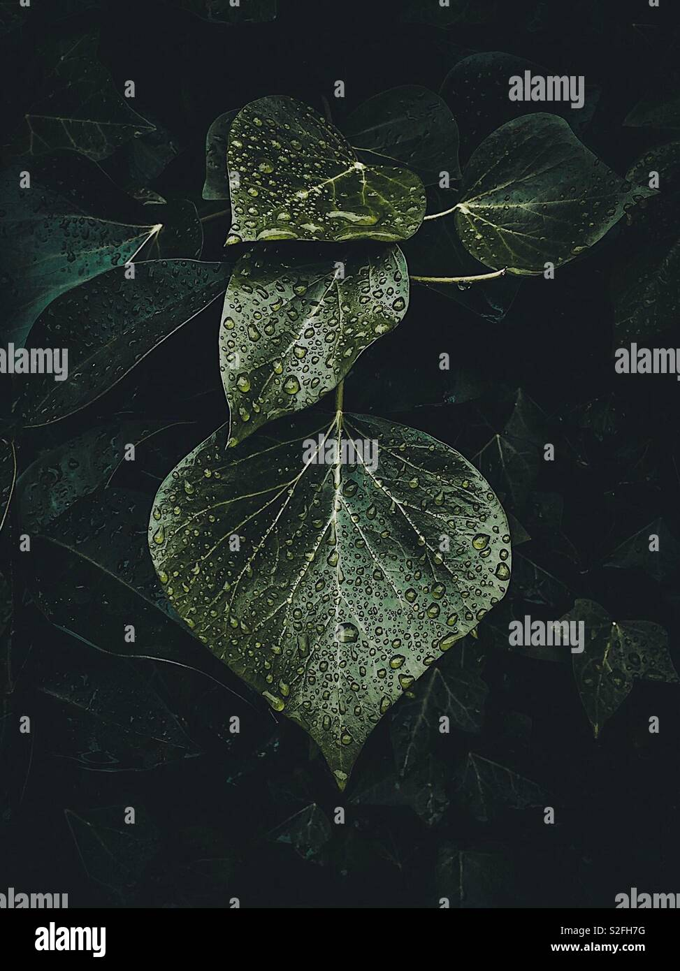 the raindrops on the green plant leaves - Stock Image