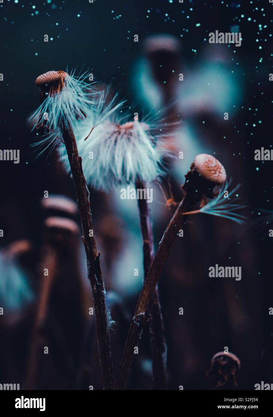 magic dandelion flower in the garden Stock Photo