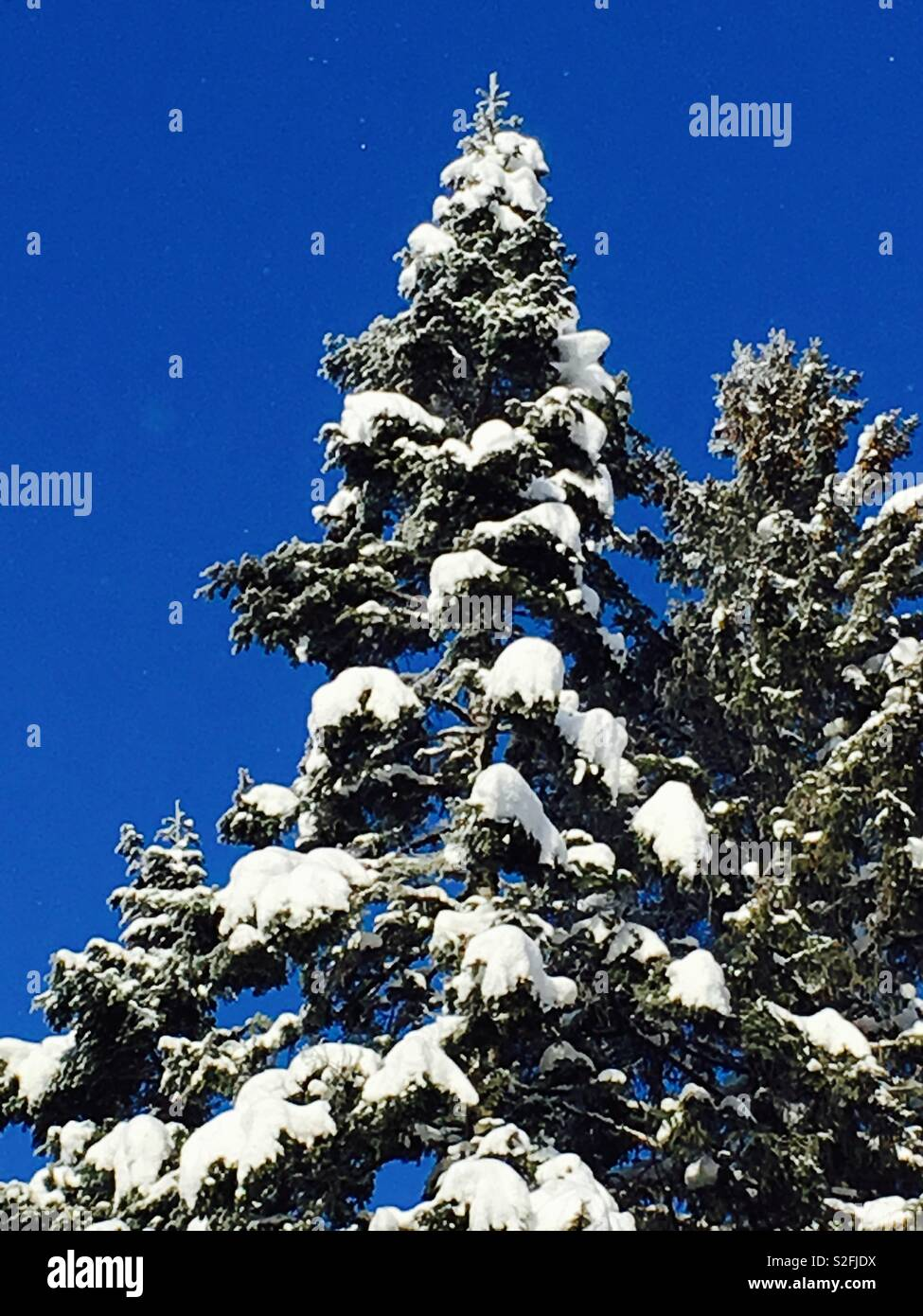 Conifers covered in snow - Stock Image