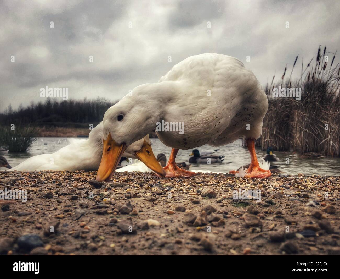 Aylesbury duck foraging for food - Stock Image