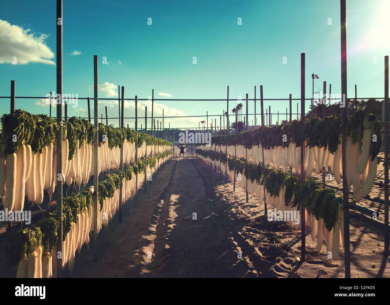 December 19, 2018 at Minamishitauramachi, Miura City, Kanagawa Prefecture, Japan -  Daikon or Japanese radish line the shore of Miura coast. They are being dried to make hoshi daikon (dried radish).Stock Photo
