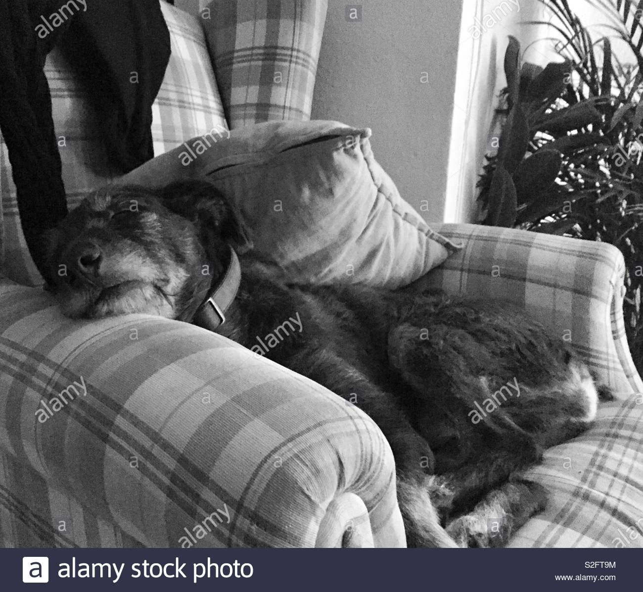 Zambo relaxing in he's comfy chair - Stock Image