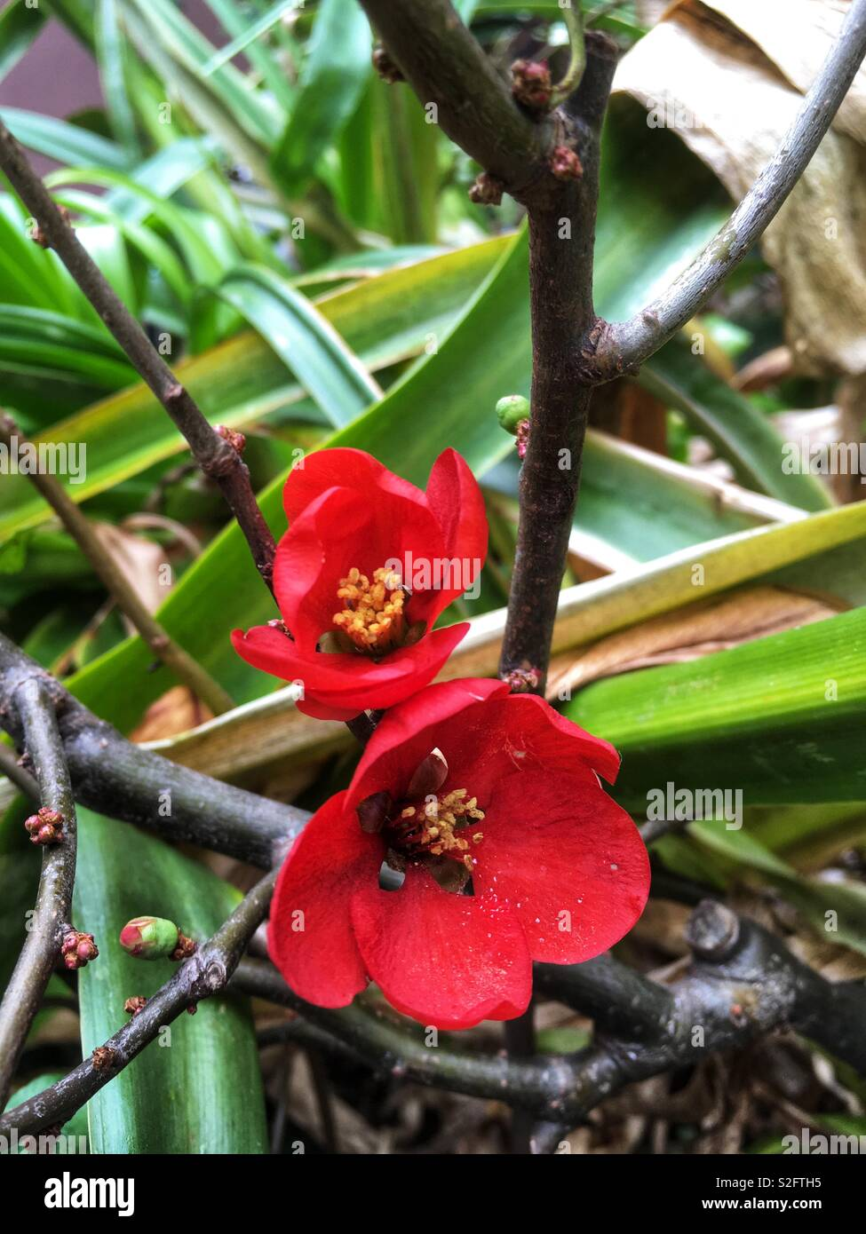 Quince Flowers - Stock Image
