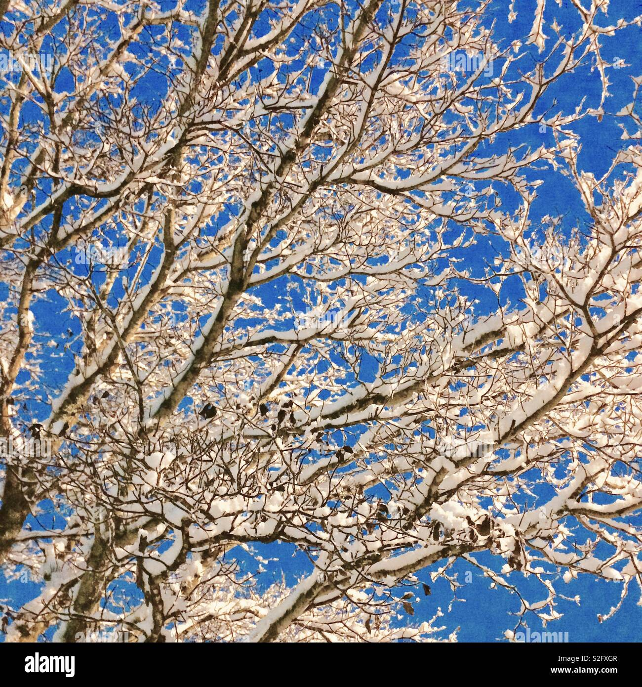 Snow covered tree limbs against blue sky. - Stock Image