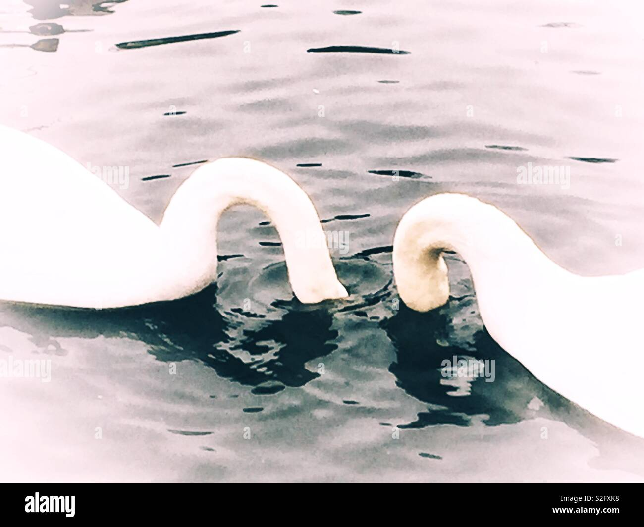 A PAIR OF SWANS - Stock Image