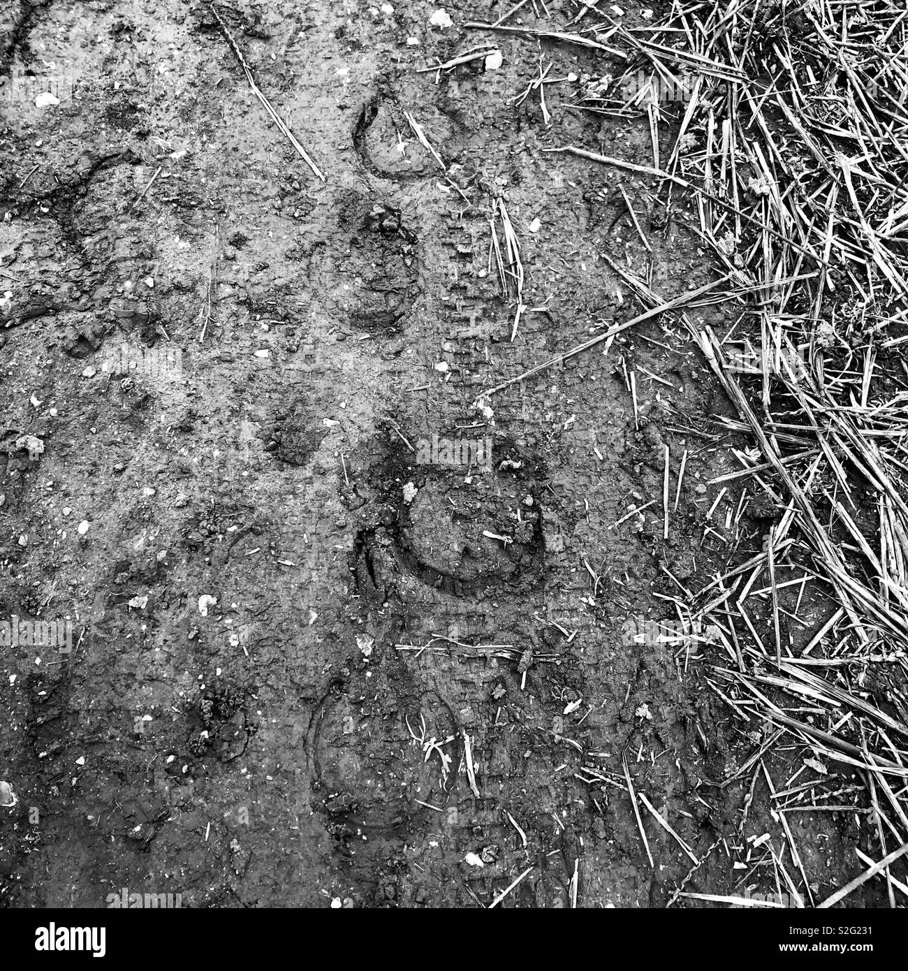 Cycle tyre tracks overlaid with horse hoof tracks - Stock Image