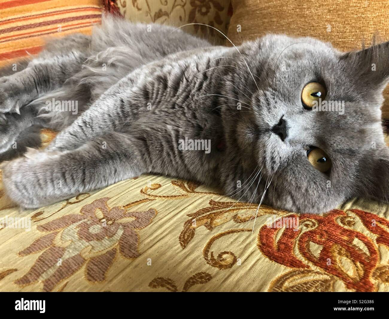 Spoiled British grey long hair cat sitting on a fancy couch - Stock Image