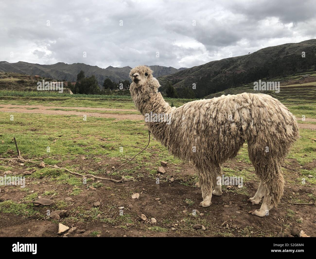 Alpaca in Peru at the mountains - Stock Image