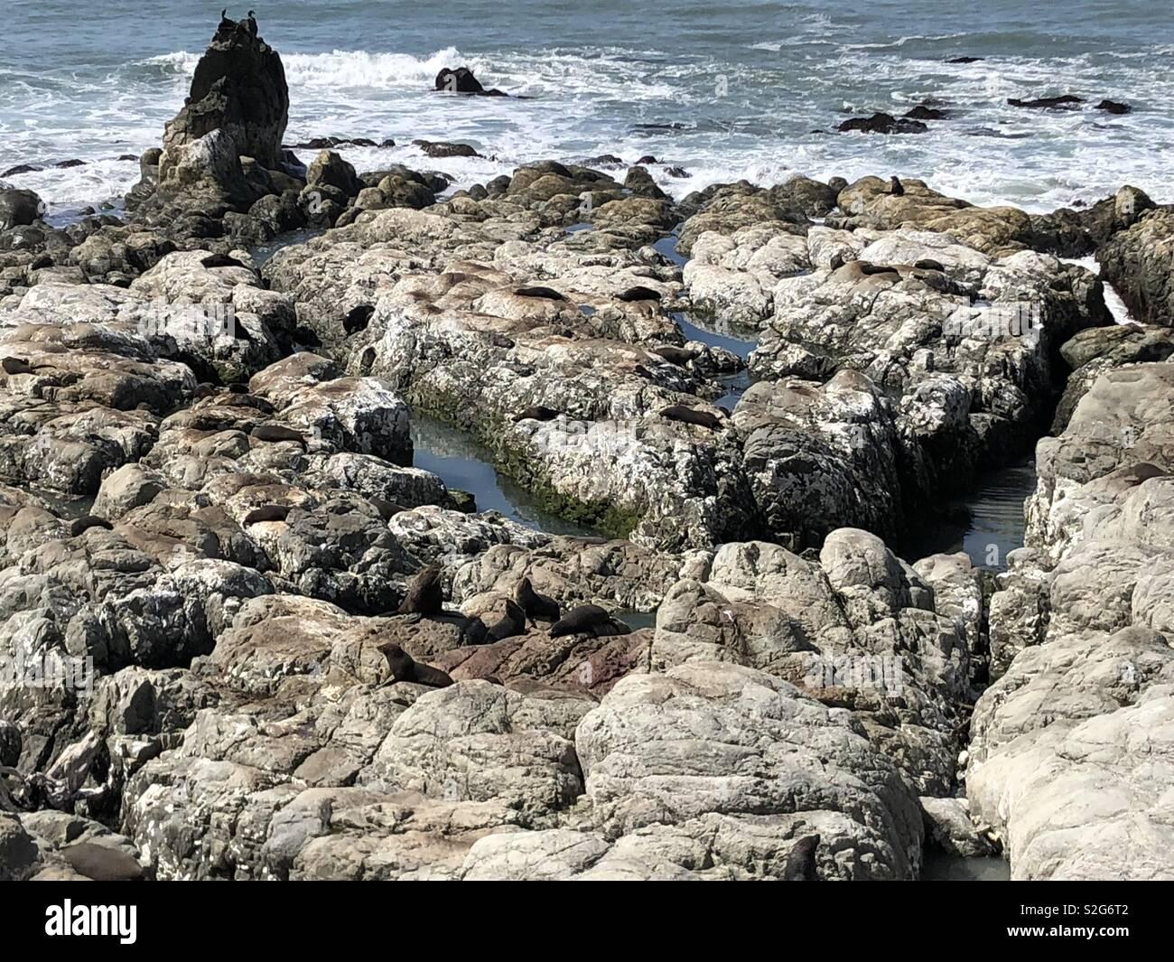 Seal Colony off SH1 Kaikora, New Zealand - Stock Image
