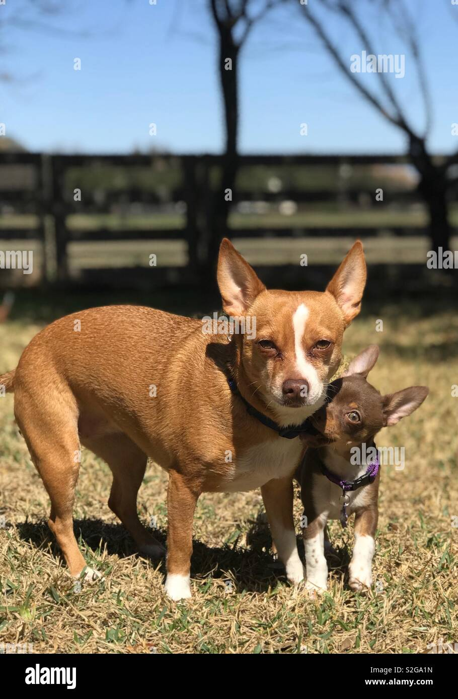 Chihuahua Mix Dog and Puppy - Stock Image