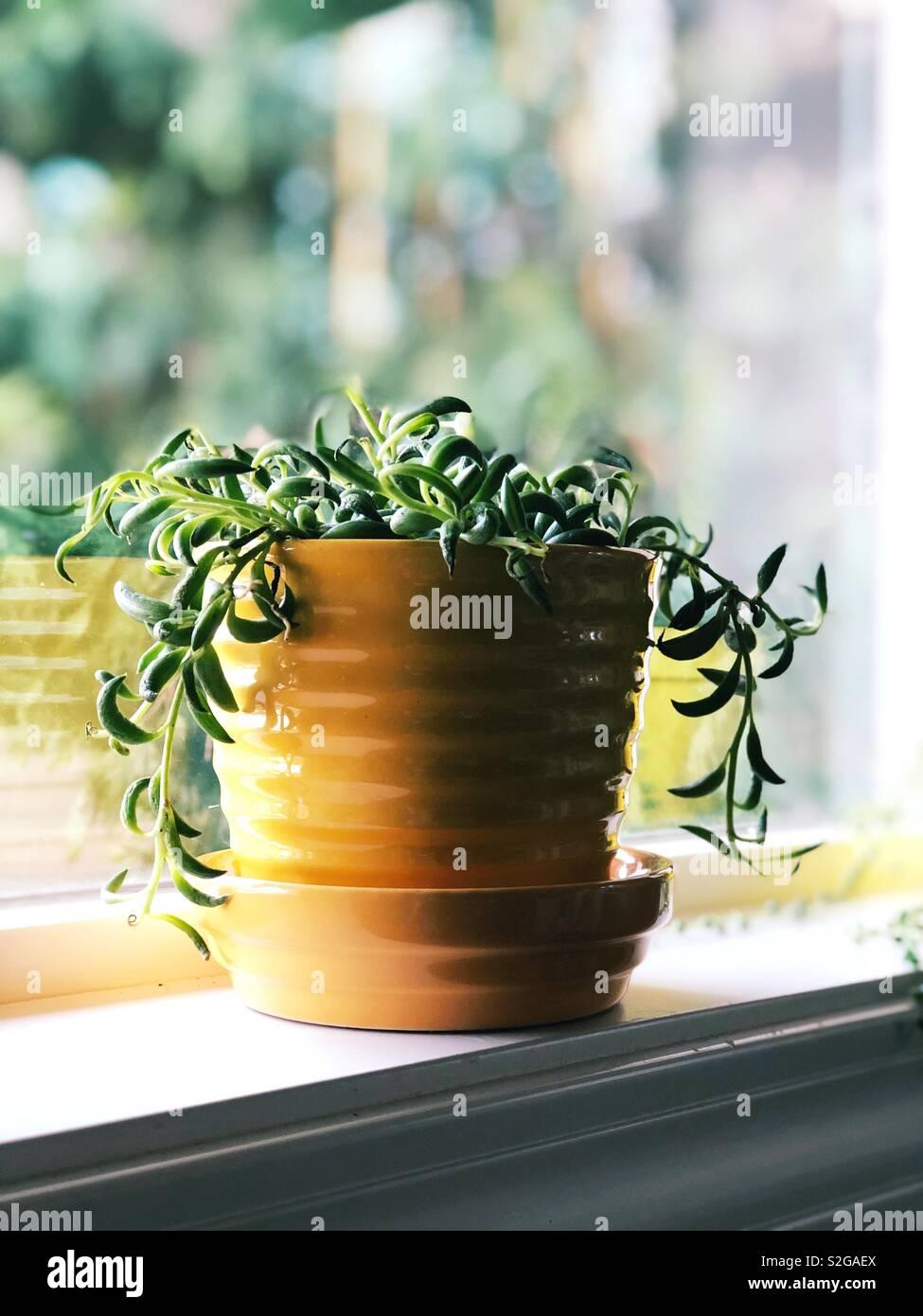 Senecio Radicans, string of bananas plant. - Stock Image