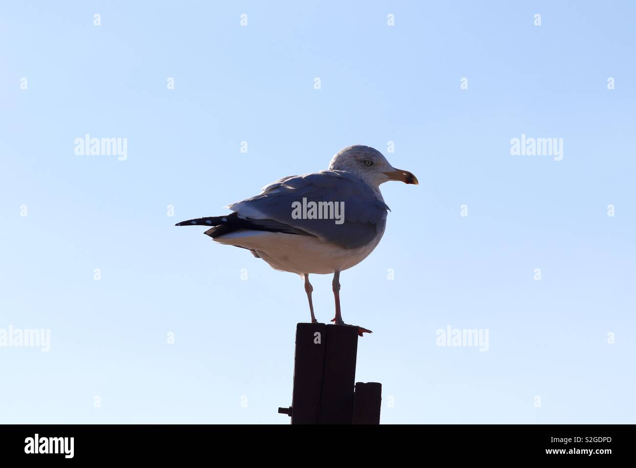 Seagull sitting on a fence post against a blue sky - Stock Image