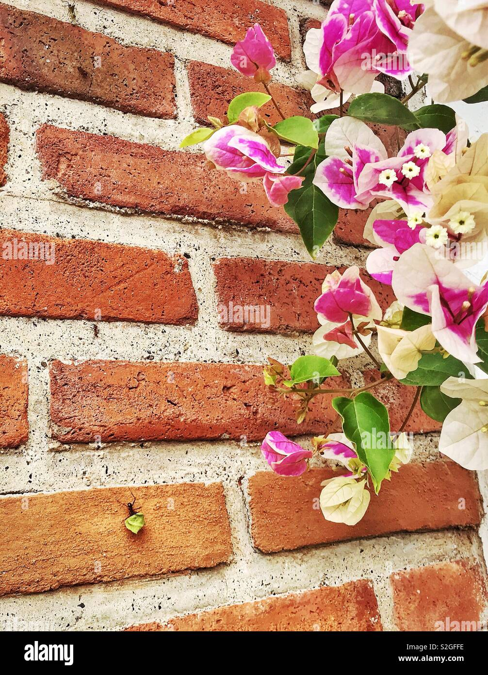 A very industrious leafcutter ant removes a portion of a leaf from a bougainvillea plant and carries it down a brick wall. - Stock Image