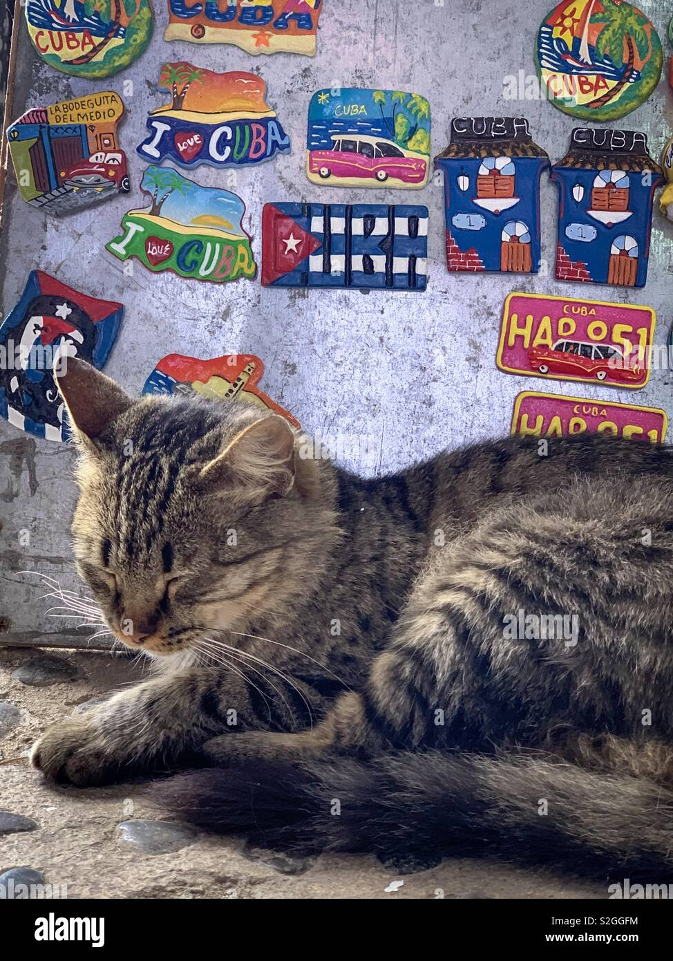 Snoozing tabby cat closeup in front of Cuba souvenir magnets - Stock Image