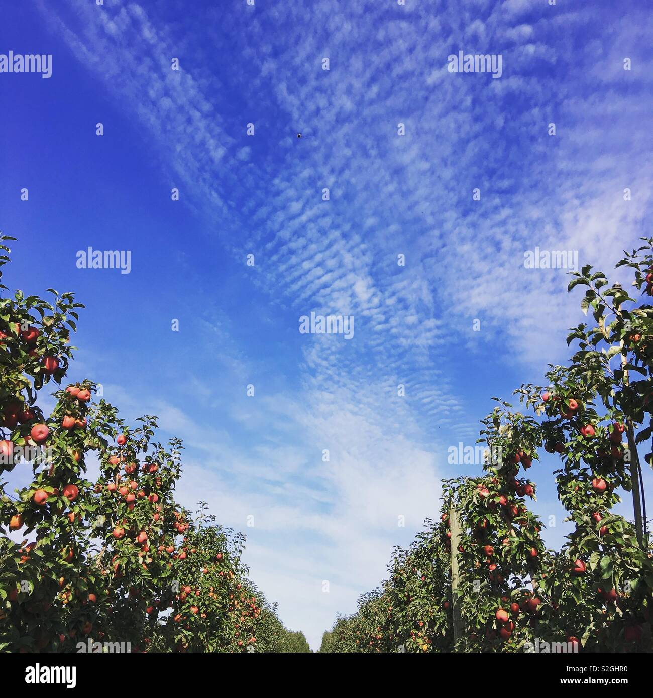 Apple orchard and blue sky - Stock Image