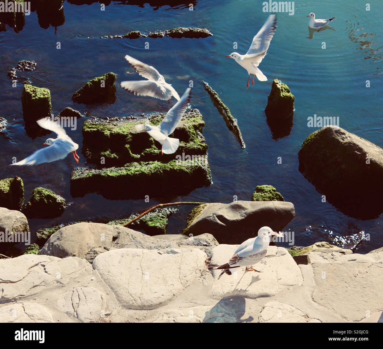 seagulls looking for feed near Caspian sea - Stock Image