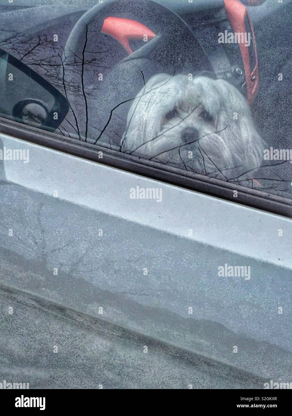 Puppy patiently waiting for their owners return, winter's reflection in the car's door and window - Stock Image