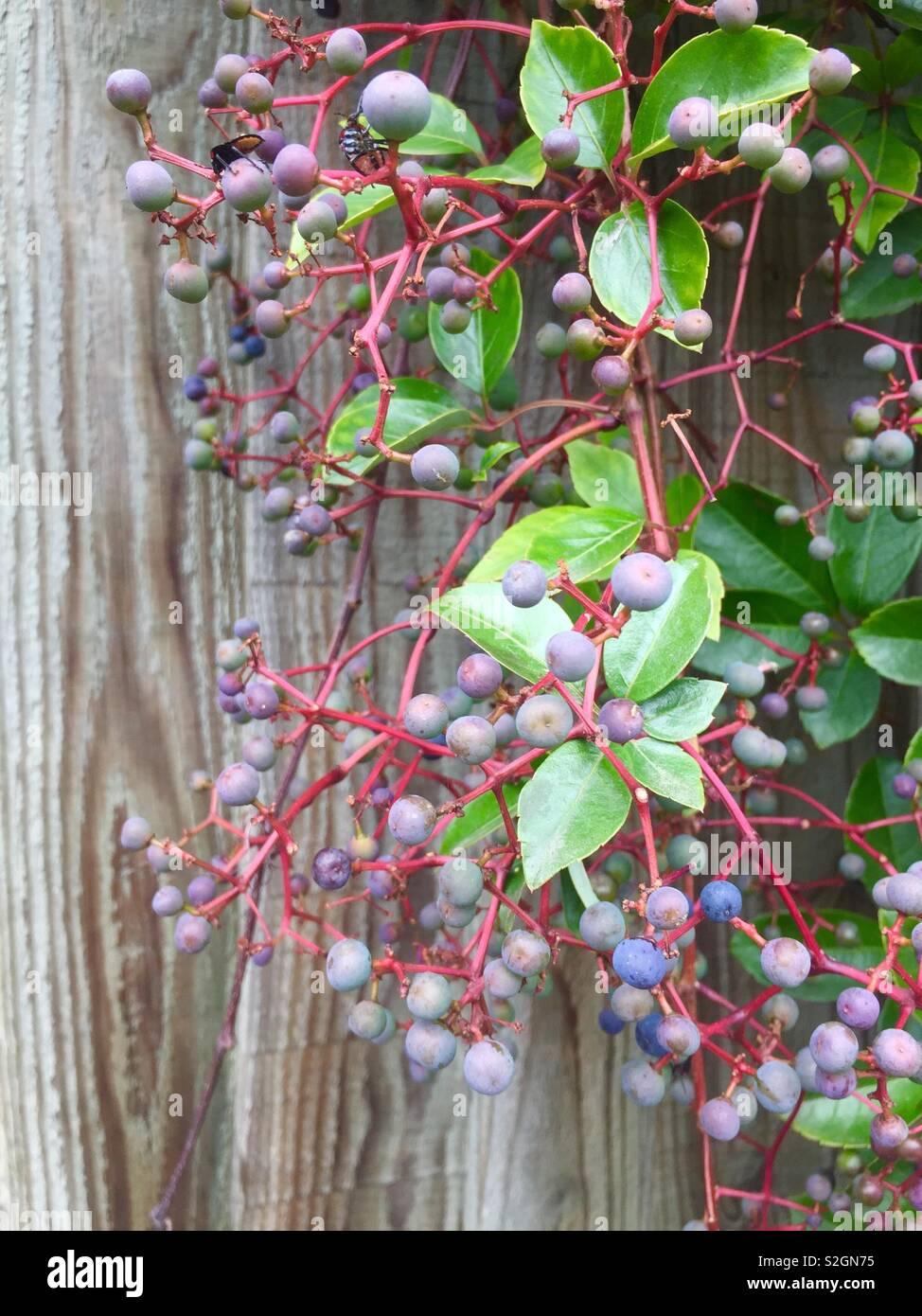 Virginia creeper, Parthenocissus quinquefolia, rampant climbing plant, with blue-black berries in autumn. Vitaceae. Ornamental, not edible. London UK - Stock Image
