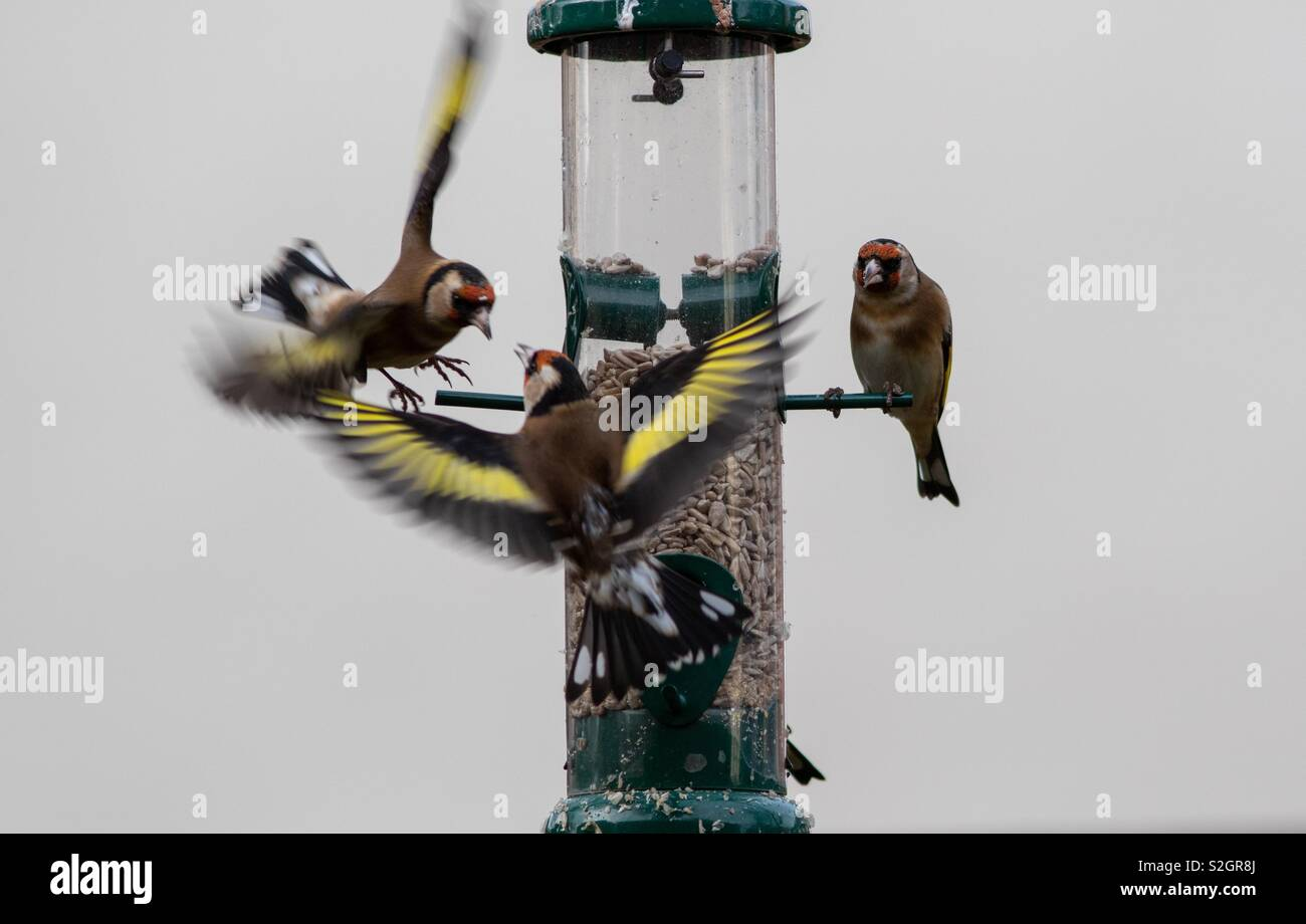 Goldfinches staking their claim. - Stock Image