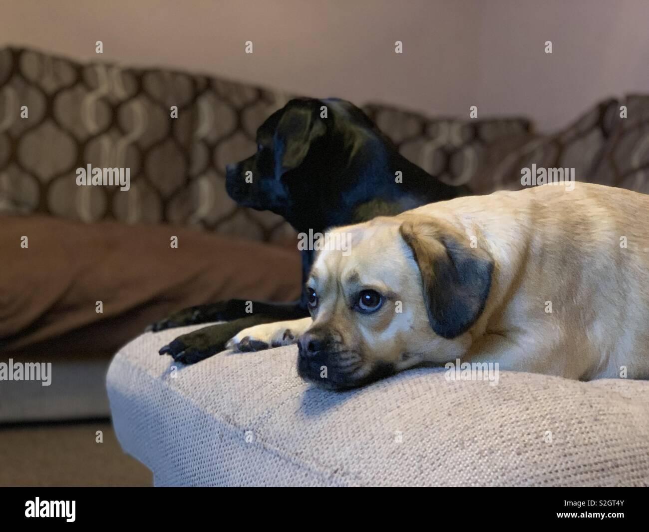 Fawn coloured Puggle dog lying down next to a black Puggle dog - Stock Image