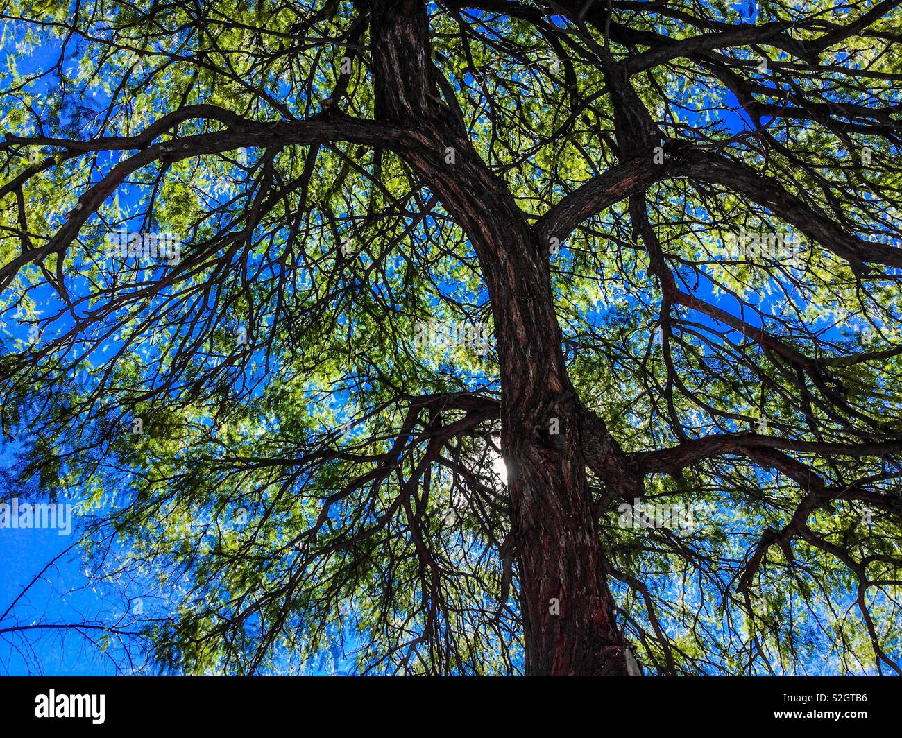 Green tree showing bark in detail against a vivid blue sky. - Stock Image