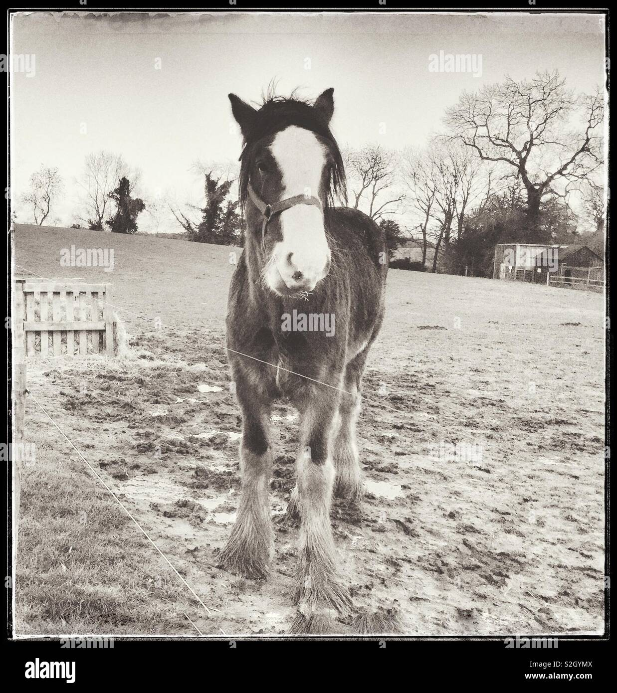 Retro Photo of British Shire Draught Horse in Winter at Cotebrook Shire Horse Centre, Cheshire, England, UK. - Stock Image