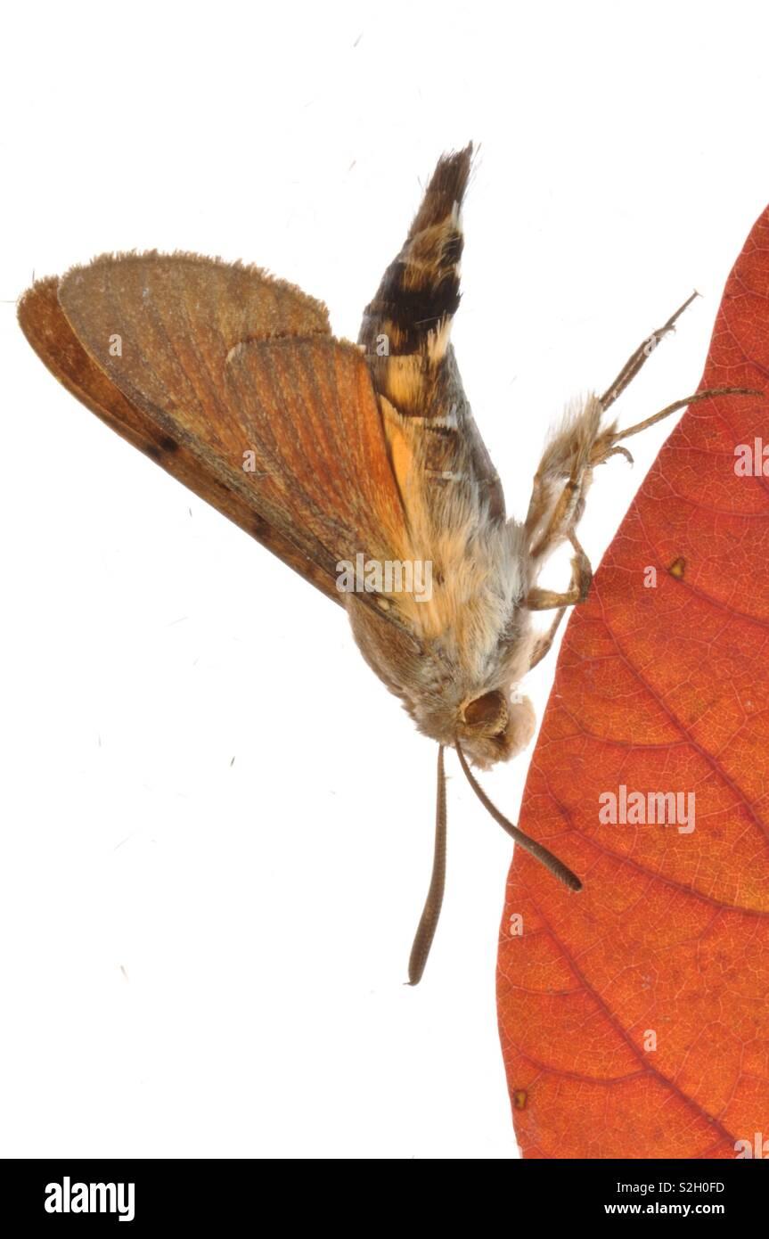 Moth entomology study - Stock Image