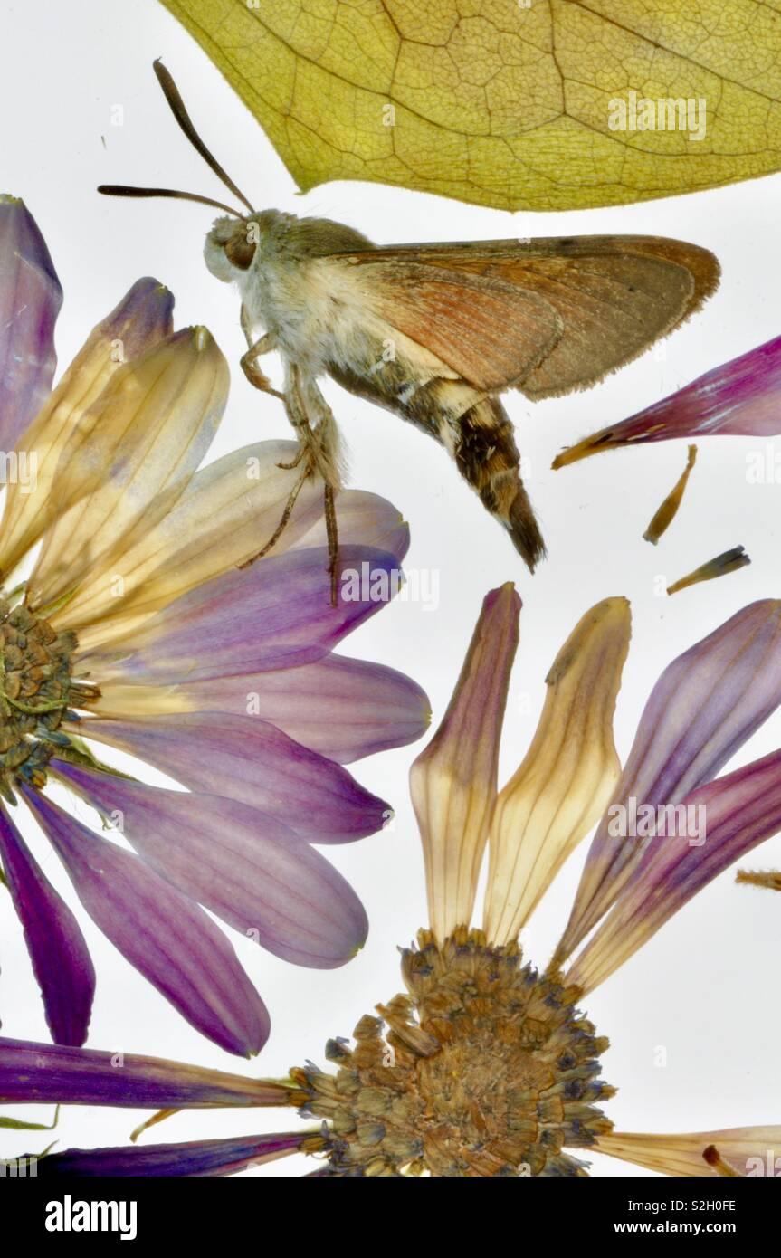 Moth entomology and flower study - Stock Image