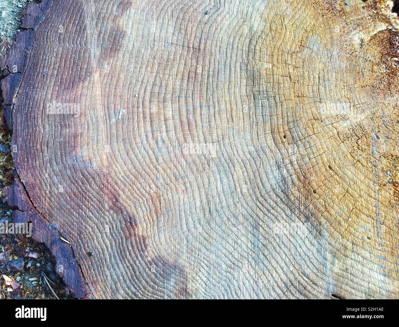 A section of a cut down tree - Stock Image