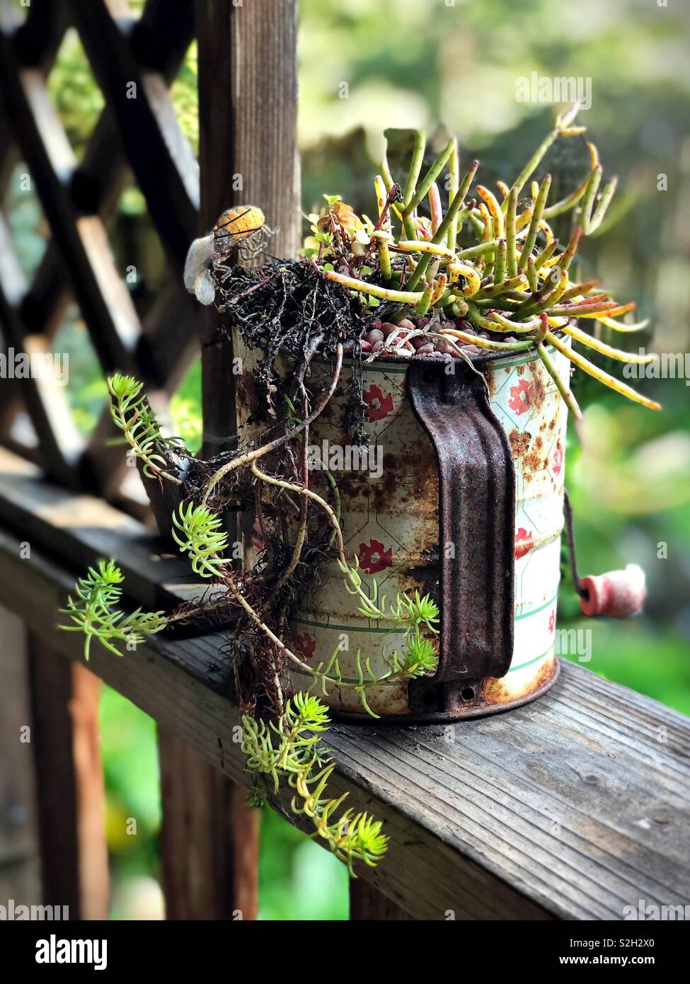 A succulent plant in an antique sifter. - Stock Image
