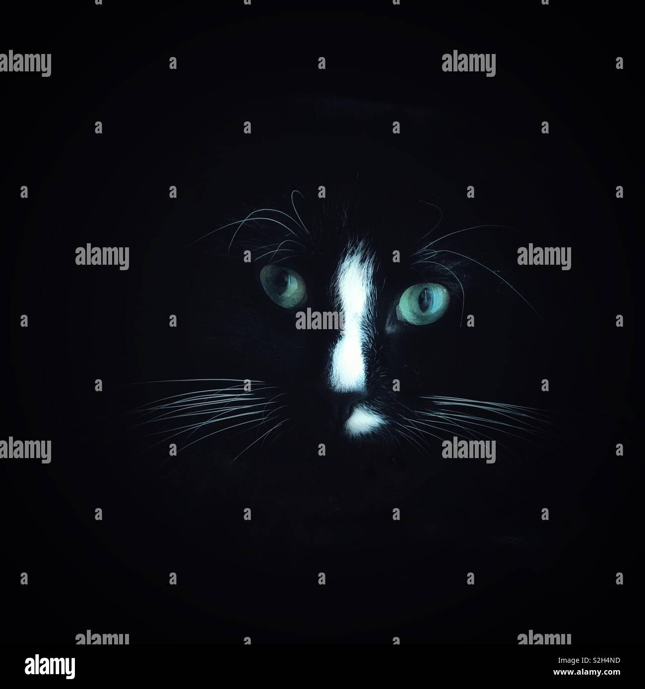 Black cat head portrait with white nose, white whiskers and green eyes in the darkness - Stock Image