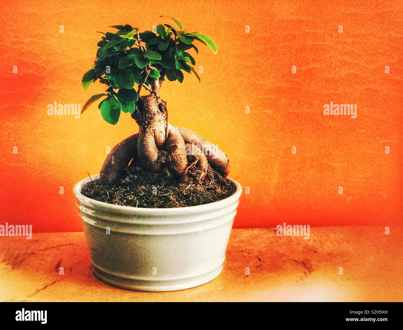 Bonsai tree (ginseng ficus) in a pot - Stock Image