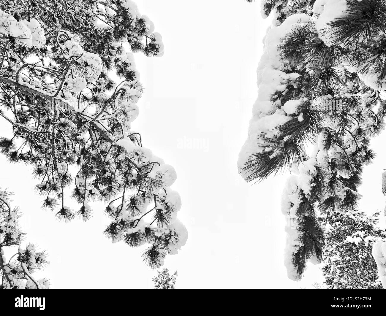 Pine tree branches under snow - Stock Image