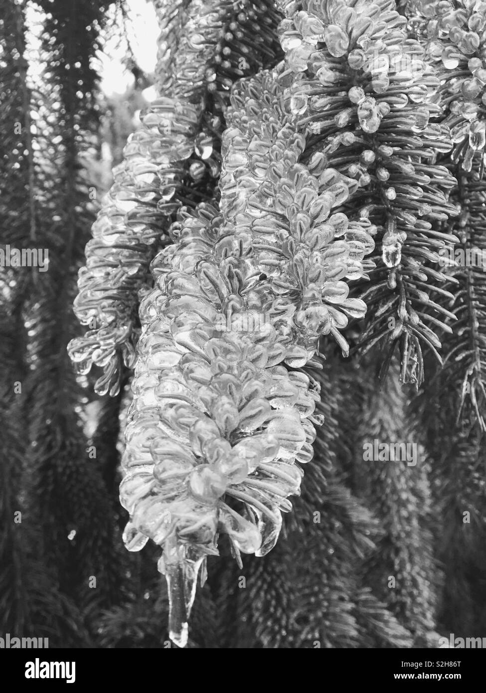Ice from the pine tree - Stock Image