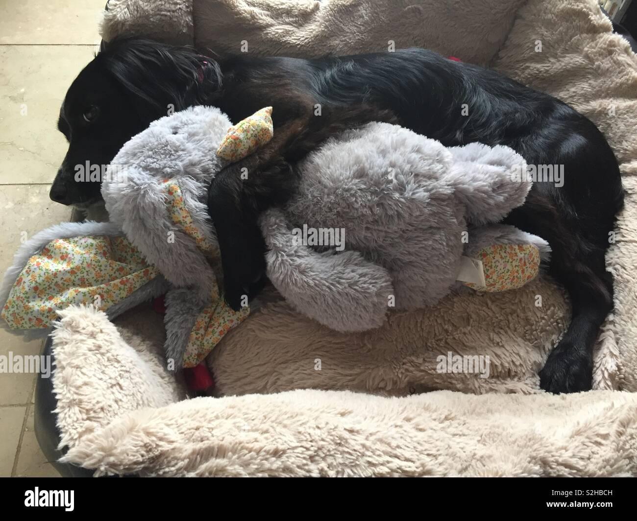 Doggy sprocker spaniel cuddling Easter bunny - Stock Image