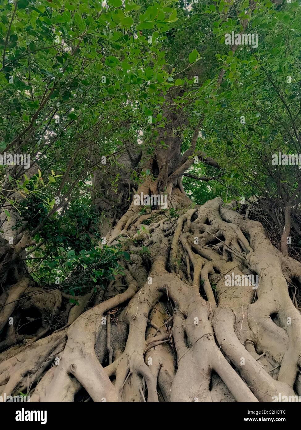 Hongkong city tree - Stock Image