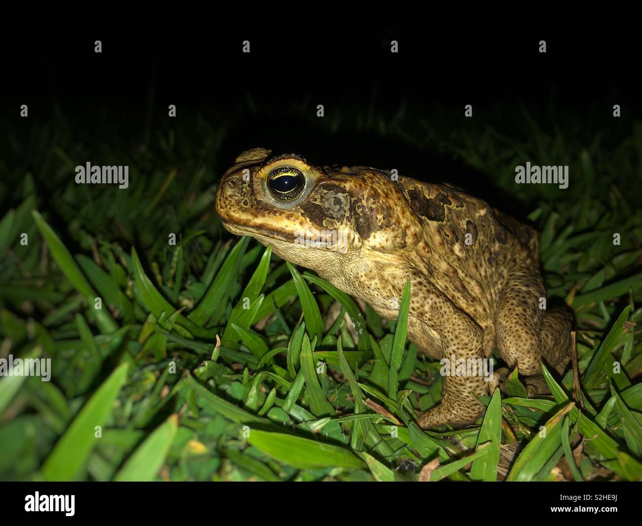 Rhinella marina commonly known as cane toad at night in Australia. - Stock Image