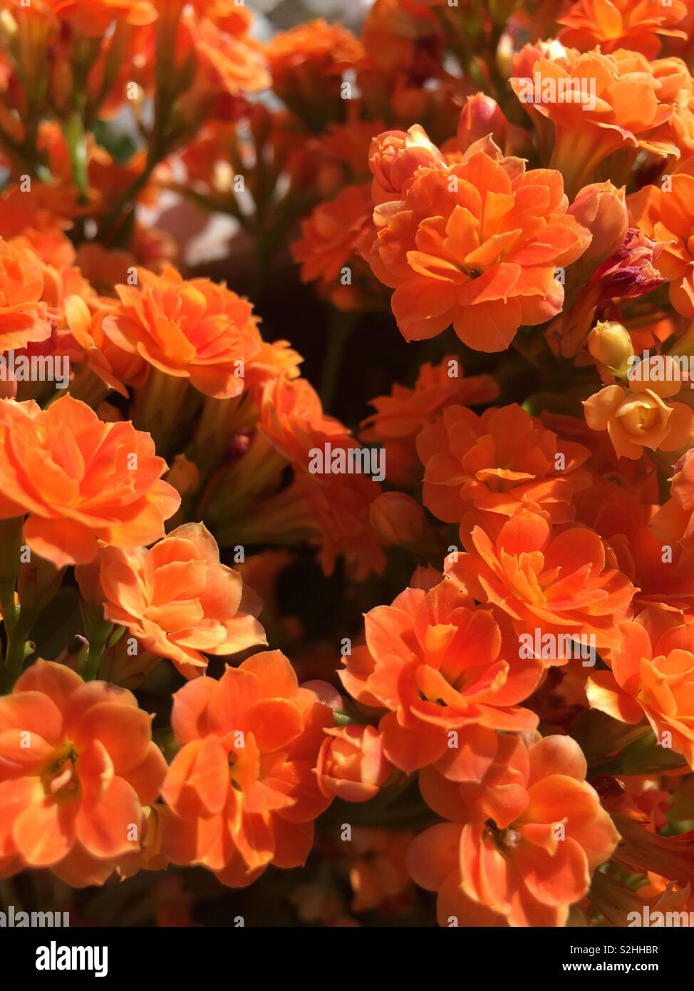 Close up to the bright orange flowers,nature is so beautiful,each bloom seems to be in conversation with the others - Stock Image
