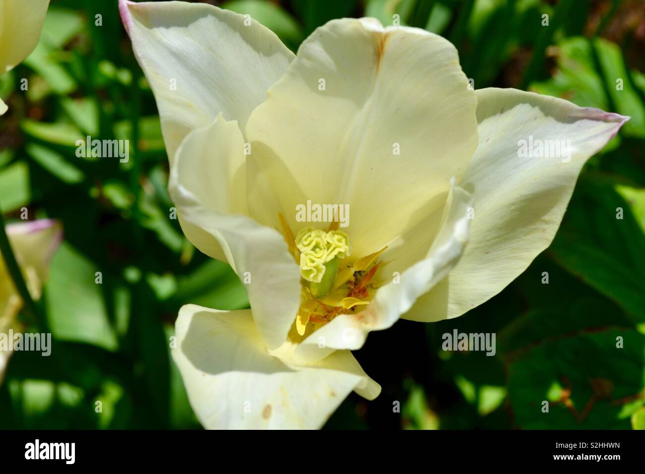 Yellow Magnolia Stock Photos Yellow Magnolia Stock Images Alamy