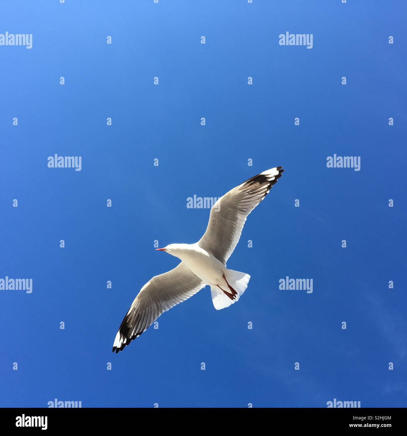 Seagull in flight against a blue sky Stock Photo