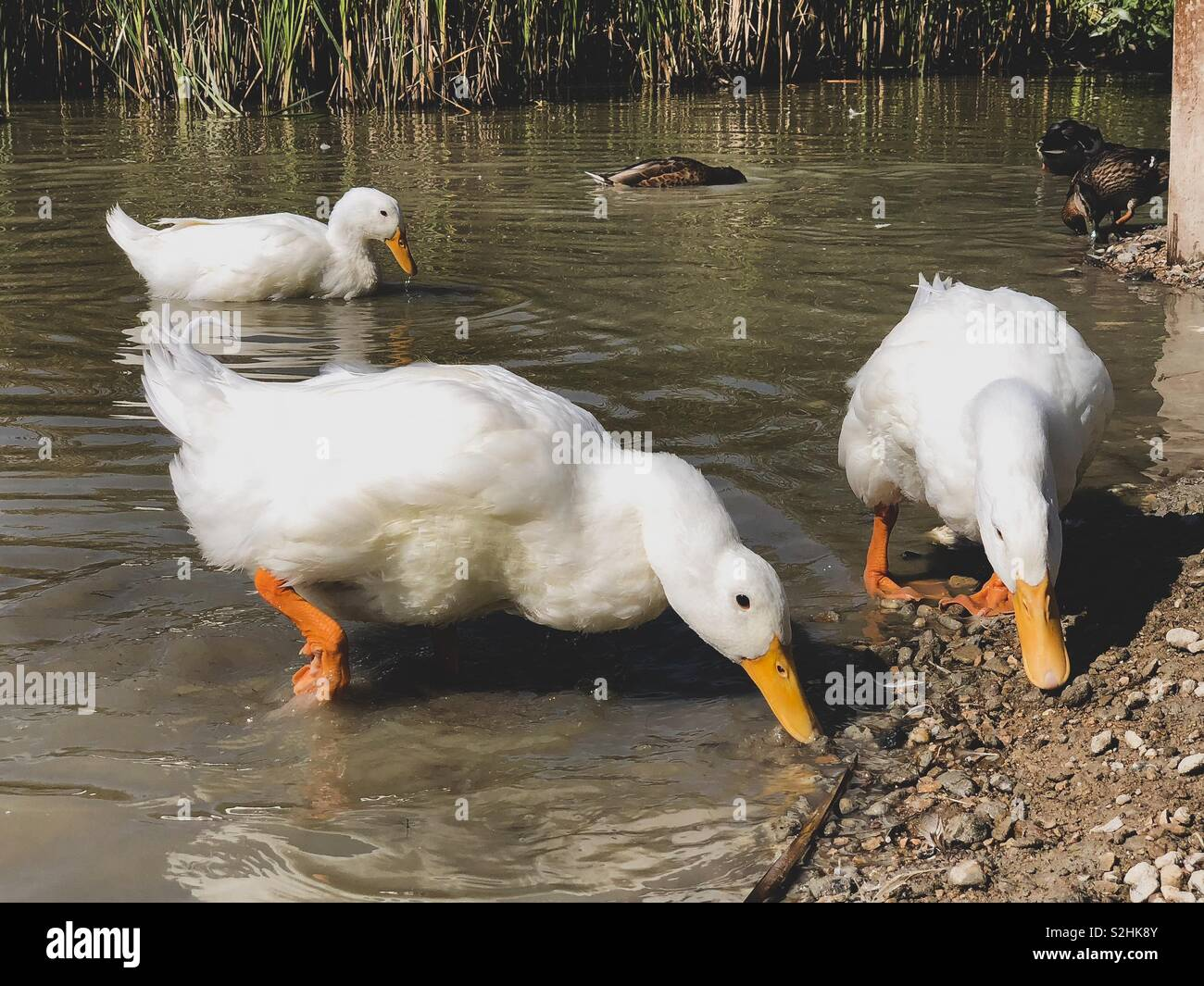 Heavy white Pekin Ducks searching for food in shallow water - Stock Image