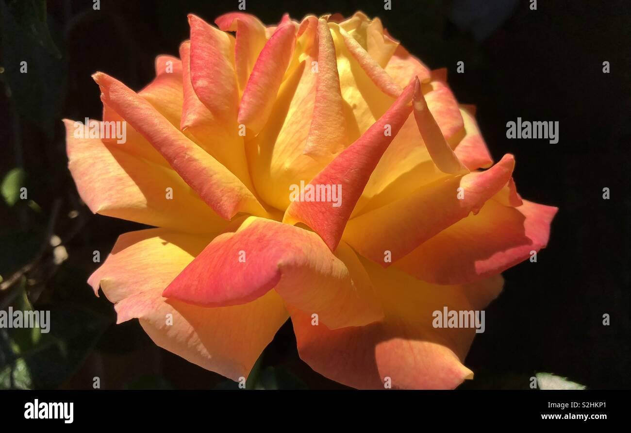 English rose - Stock Image