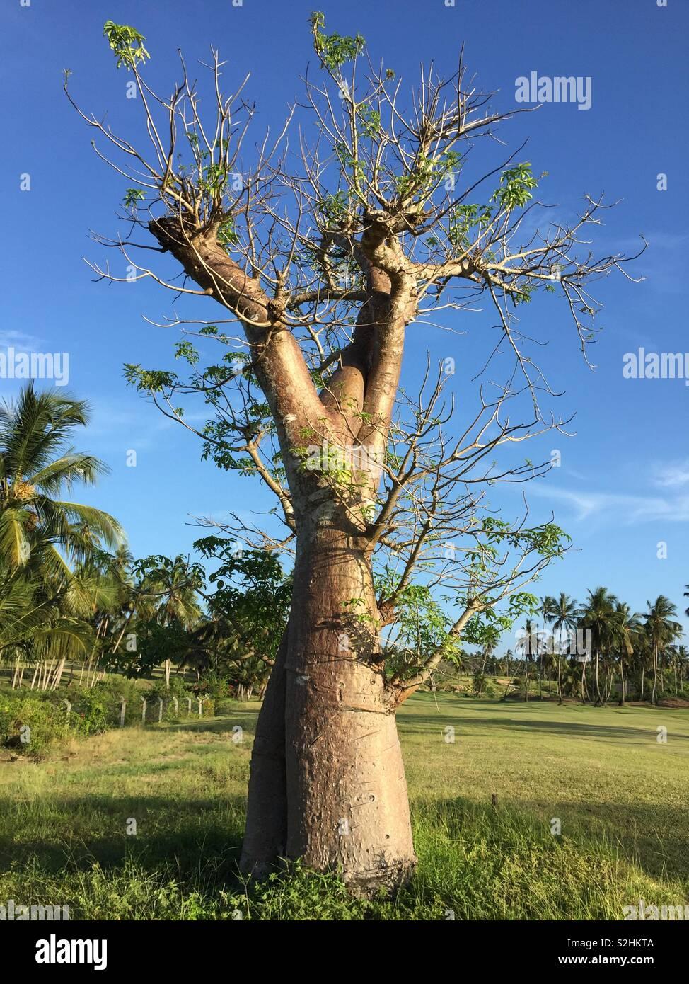 African bottle tree - Stock Image