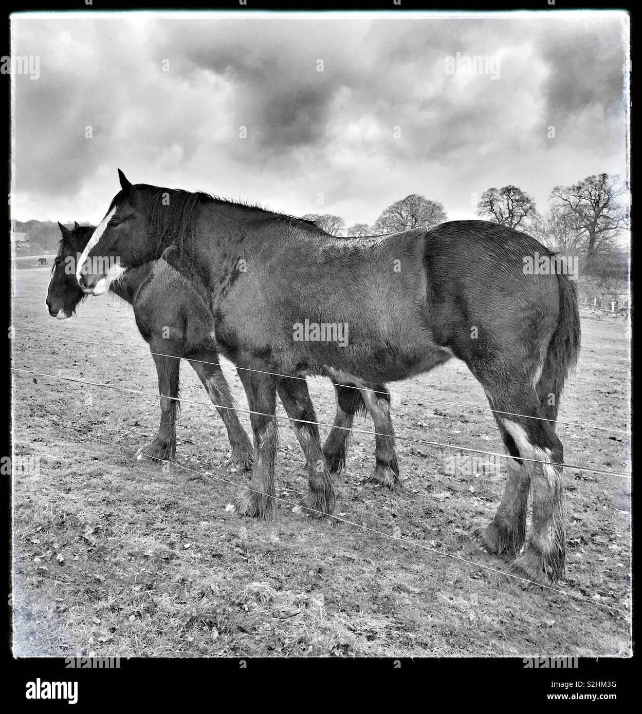 Docile Shire Mares at Cotebrook Shire Horse Centre, Cheshire, England, UK. British Heavy Draught Horse. - Stock Image