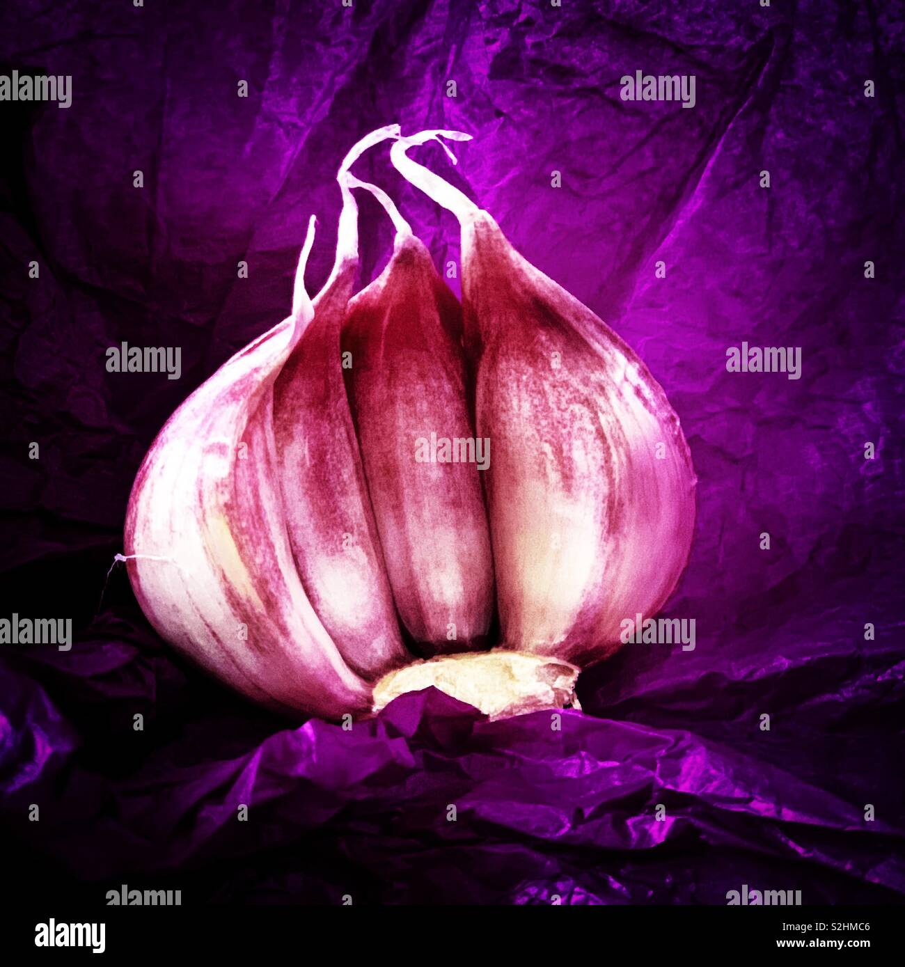 Purple Garlic - Stock Image